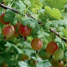 groseillier maquereau crispa winham's industry pot 3 litres 60/80 cm