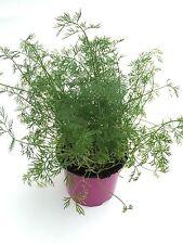 Dill Pflanze, Frische Kräuterpflanze (Anethum graveolens)