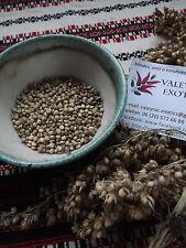 Sorgo-sorgo blanco-Sorgo Bicolor - 50+ semillas-Tarahumara apareciendo