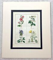 Mano Colorato Incisione Botanico Fiori Rosa Malva Giallo Ranuncolo Ca. 1824