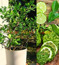 BUSH Type KAFFIR LIME Tree indoor outdoor GROWS TO 2-4' in pot! CITRUS Seeds.