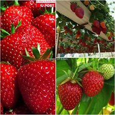 "20 STRAWBERRY ""TEMPTATION""seeds; High yielding variety, Juicy fruit"