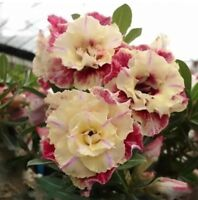 "5 pcs Desert Rose Flower Adenium obesum ""PEONY"" bonsai Seeds"