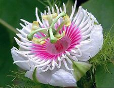 Carnivorous Passionfruit -Love-in-a-Mist (Passiflora foetida) - 15 Seeds