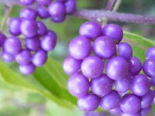 Beauty Berry (Callicarpa) - 15+ seeds. Pink flowers & beautiful purple berries!