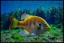"Realfish Inland Series: "" Bluegill "" Fish Mat Floor Mat Doormat 24x36"
