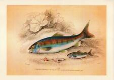 Reproduction Antique Style Fish Print Par life cycle on  A4 Parchment Paper