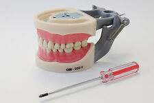 Dental Anatomy Typodont Educational Model 200 Removable Teeth NBDE NERB ADEX
