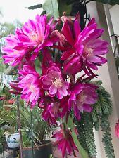 epiphyllum-orchid-cactus-cuttings