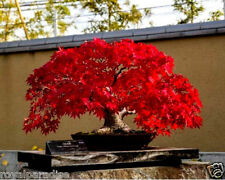 15 Pcs Rare Imported Japanese Bonsai Maple Tree Seeds Limited Quantity Good Seed