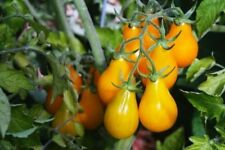 YELLOW PEARSHAPED TOMATO 40+  RARE SEEDS