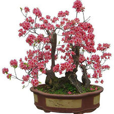 10pcs seeds RED PRUNUS ( prunus mume ) bonsai seeds cherry seeds Home Garden