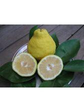 Citrus sulcata Sambokan Lemon Sweetest Lemon Tree Seeds!