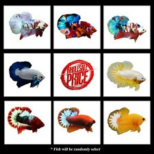 New listing Wholesale Price For Limited Time- High Quality Live Betta Hmpk.