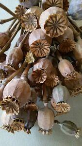 Mohnkapseln Dekoration  Floristik 20 Stück