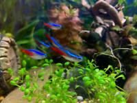 (3pk) Premium Neon Tetra (Paracheirodon innesi) Live Freshwater Fish