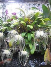 Bin-Bulbophyllum (Cirr.) medusae x self-The Best of the Best! Excellent! A Must