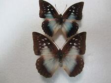 Entomologie Nymphalidae Charaxes pythodoris pythodoris Couple  Kenya
