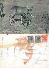 PARCO NAZIONALE D'ABRUZZO  - CAPRIOLI         (rif.fg.8667)