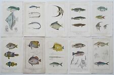 1837 10X GENUINE ANTIQUE CUVIER FISH PRINTS CHAETODON CHELMON PLATAX ETC