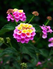 METAL MAGNET Lantana Flowers Pink Yellow Flower MAGNET