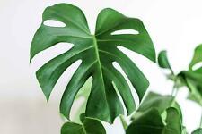 Fresh Monstera Deliciosa 10 seeds 2020 USA SELLER Tropical Foliage Plant Seeds