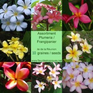Graines / Seeds Frangipanier / Plumeria (10)