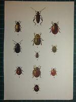 Vintage Natural Historia Estampado ~ Varios Beetles Ladybird