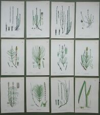 12 Antique Prints Equisetum Horsetail Sweet Flag Plant Sowerby Hand Colour 1902