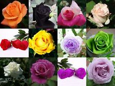 Heirloom 12 kinds Colorful variety mix Bush Rose Flower seed 120 seeds Plants