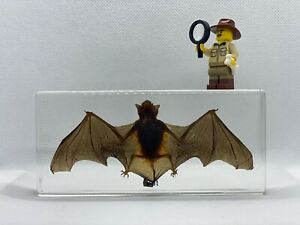 UK Seller - Taxidermy Bat - Pipistrellus Abramus (Japanese House Bat)
