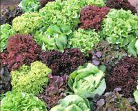 Seeds Indoor Lettuce Mix 20 Days for Salad Vegetable Organic Heirloom Ukraine