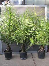 Jubaea chilensis - Honig Palme  -  Pflanze 110-130cm    bis -16°C Frost