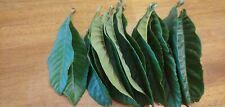 15 Fresh Picked Organic LOQUAT  Leaves