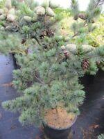 Pinus parviflora Glauca - Blaue Mädchenkiefer - 50-60 cm