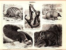 1894 Toothless Mammals, Six-Banded Armadillo, Linnaeus's Two-Toed Sloth Print