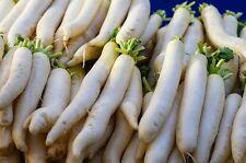 500 JAPANESE MINOWASE RADISH Huge Daikon White Raphanus Sativus Vegetable Seeds