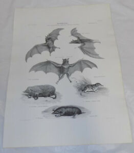1851 Animal Print/SPECTRE BAT, HEDGEHOG, COMMON SHREW, COMMON MOLE
