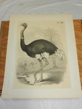1878 Antique STUDER BIRD Print/OSTRICH