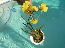 Orchid Equitant Oncidium Tolumnia on Abalone sea shell hanger Tropical Plants
