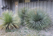 25 x Dasylirion Wheeleri (spoon yucca) seeds / zaden