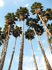 30 CALIFORNIA FAN PALM TREE Petticoat Arizona Desert Washingtonia Filifera Seeds