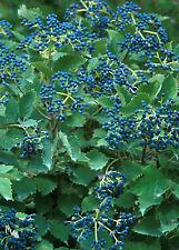 Viburnum dentatum 'Blue Muffin Christom' RARE in 7cm pot