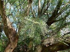 Prosopis chilensis Chilean Mesquite Tree Seeds!