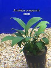 Best Quality Live Aquatic Plant Anubias congensis mini Potted P346