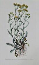 Ancienne Affiche Poster Art Print A3 Botanique P153 Immortelle des Sables