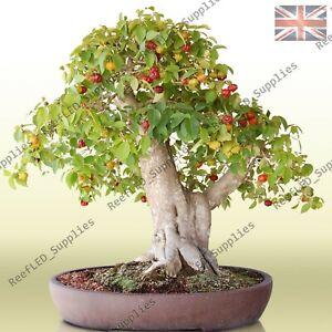 RARE Dwarf Mini Cherry Bonsai Tree Fruit Sweet Sylvia -10 Viable Seeds-UK Seller