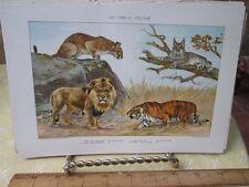 Vintage Print,CAT FAMILY FELIDAE,New International Encyclopedia,1909