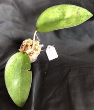 Rare 🔥 Hoya Fusco Marginata Rooted Cutting - Large leaves