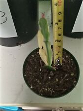 Christmas Cactus Schlumbergera Variegated,no string of heart variegated